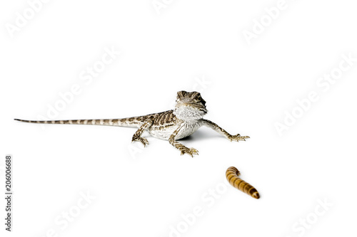 Photo Agama. Baby Bearded Dragon and worm on white background.