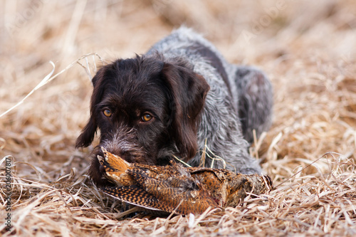 Valokuva  german wirehaired pointer with woodcock