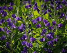 Beautiful Blue Wild Indigo Blossoms