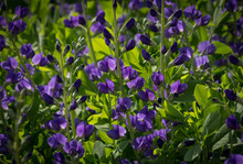 Beautiful Blue Wild Indigo Blossoms