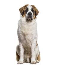 St.Bernard Dog Sitting And Loo...