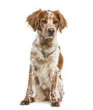 Brittany Dog Sitting Against W...