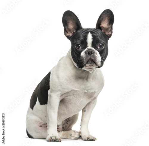 Foto op Plexiglas Franse bulldog French bulldog looking at camera against white background