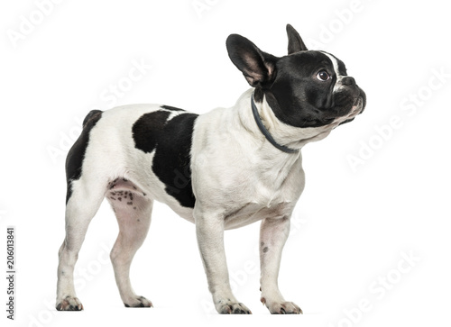 Poster Bouledogue français French bulldog looking up against white background