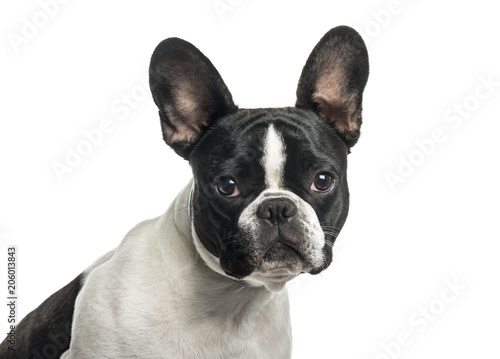 Deurstickers Franse bulldog French bulldog in close up against white background