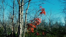Foliage Showered With Birch Tr...