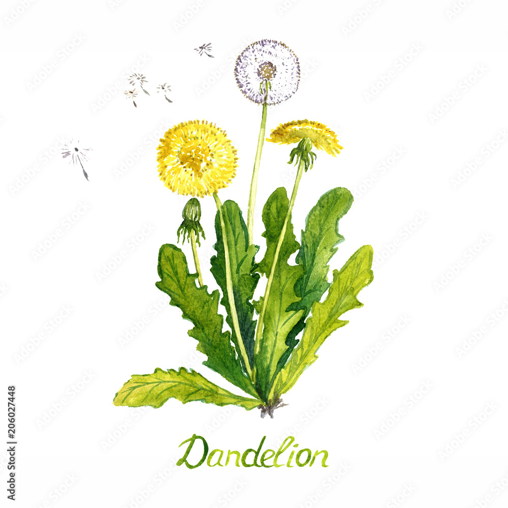 Fototapety, obrazy: Dandelion (Taraxacum officinale) plant with flowers, seed head and buds, isolated on white background hand painted watercolor illustration with inscription
