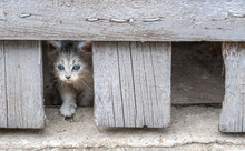 Animal Abuse: Sad Looking Timid White Kitten Hiding Under A Wooden Barn Door In Dirty Conditions