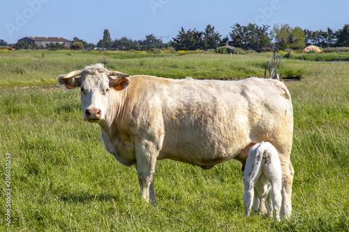 Vache nantaise et veaux en pâture Fotobehang