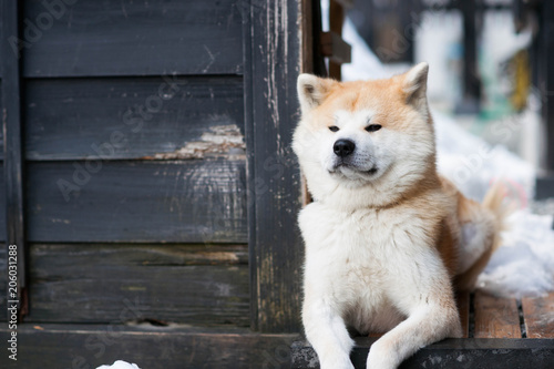 Sitting Akita Inu dog Canvas Print
