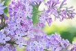 Lilac flowers blossom flowers in spring garden. Soft selective focus. Floral natural background spring time season.