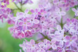 Blooming branch in springtime. Closeup macro of blooming lilac purple flowers with blurred background. Floral natural background spring time season.