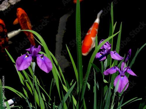 Foto op Canvas Iris 菖蒲と錦鯉