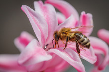Bee On A Pink Flower Collecting Pollen And Gathering Nectar To Produce Honey In The Hive