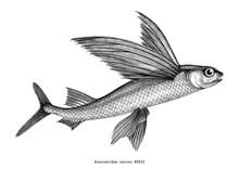 Exocoetidae Or Flying Fish Han...