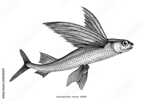 Photo Exocoetidae or Flying fish hand drawing vintage engraving illustration
