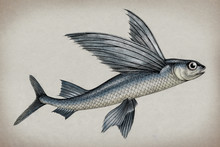 Exocoetidae Or Flying Fish Han...