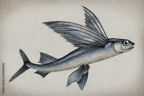 Exocoetidae or Flying fish hand drawing vintage engraving illustration Wallpaper Mural