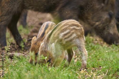 Fotobehang Ree Wild hogs rooting for food