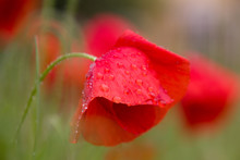 Poppy Flowers Just After A Spring Rain, Covered In Water Drops
