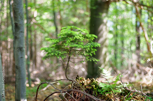 A Naturally Growing Bonsai Tree In The Forest A Small Coniferous Tree Pine Or Spruce Buy This Stock Photo And Explore Similar Images At Adobe Stock Adobe Stock