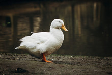 Cute White Duck Standing On Di...