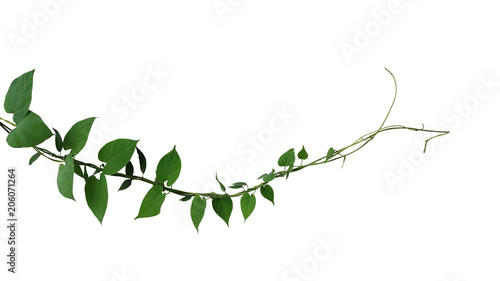 Poster Vegetal Heart shaped dark green leaf twisted jungle vines liana climbing plant isolated on white background, clipping path included.