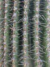 Saguaro Cactus Texture