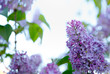 Branch of blossoming lilac isolated on blue.