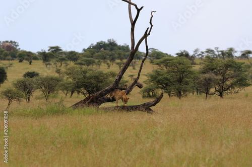 Fotobehang Leeuw Lioness in a tree, evening, Serengeti, Tanzania, Africa