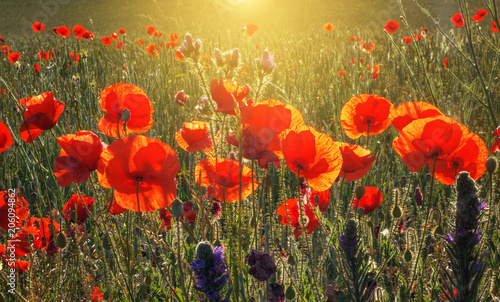 Beautiful field of red poppies in the sunrise light, in the Valderrobres medieval village, Matarrana district, Teruel province, Spain