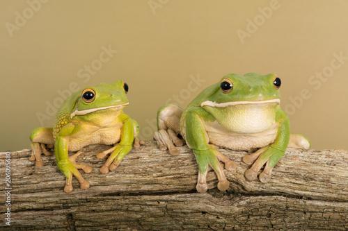 Foto op Plexiglas Kikker White Lipped Tree Frogs (Litoria infrafrenata)/White Lipped Tree Frogs on thick branch