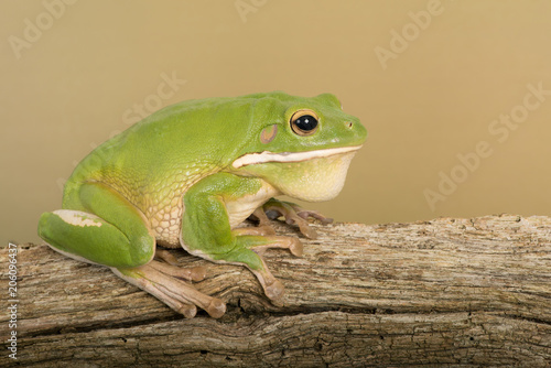White Lipped Tree Frog (Litoria infrafrenata)/White Lipped Tree Frog on thick branch