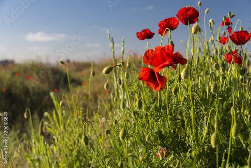 Fototapeta Group of red blossomed poppies and poppy field background in sunny day in Ukraine obraz na płótnie