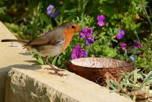 Robin Redbreast, Erithacus Rubecula, Waiting For The Food Dish To Be Filled.