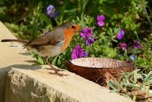 Robin Redbreast, Erithacus Rub...