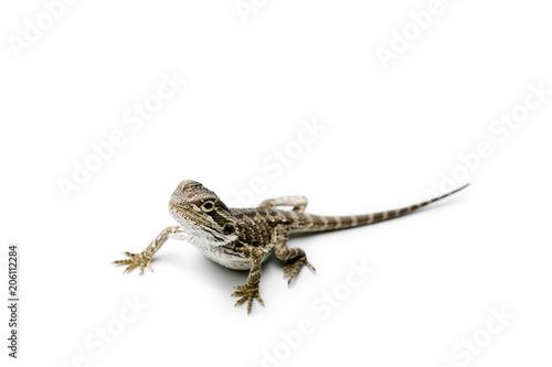 Agama. Baby Bearded Dragon on white background. Lizard.
