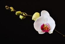 Il Bel Fiore Di Orchidea Con I...