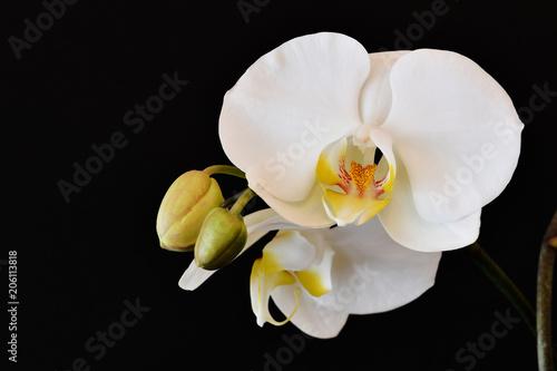Tuinposter Orchidee Il bel fiore di orchidea con i boccioli ancora chiusi
