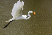 Great Egret With A Catch