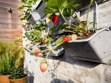 Ripe And Unripe Strawberries Hanging From Rows Of Strawberry Plants In A Vertical Garden On A Sunny Wall In A Small Patio