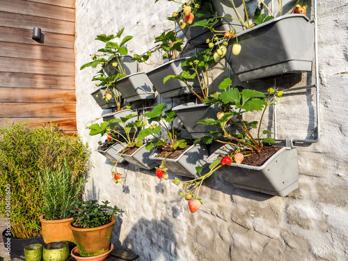 Rows of strawberry plants in a vertical garden hanging on a wall in a small patio