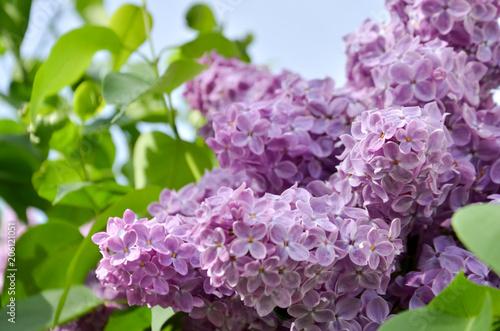 In de dag Lilac purple lilac branch in the garden selective