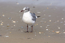 Immature Laughing Gull On The Shore