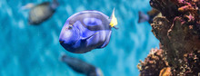 Closeup Of A Regal Blue Tang I...