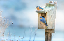 A Pair Of Eastern Bluebirds On...