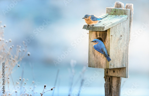 A pair of Eastern Bluebirds on a nesting box in Spring. Fototapet