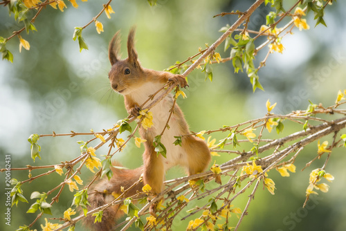 Tuinposter Eekhoorn red squirrel is climbing on an Forsythia branch