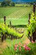 Leinwanddruck Bild - beautiful green vineyard in summer in Tuscany