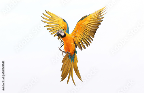 Fényképezés Colorful flying parrot isolated on white